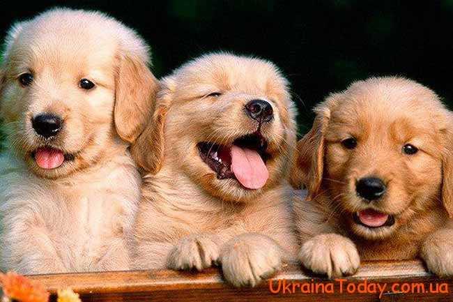 Жовта Земляна Собака