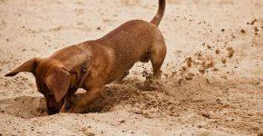 собачка риється в землі