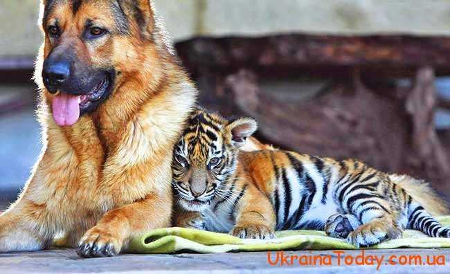 собака і тигр