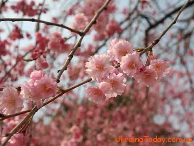 дерева у весняному цвітінні