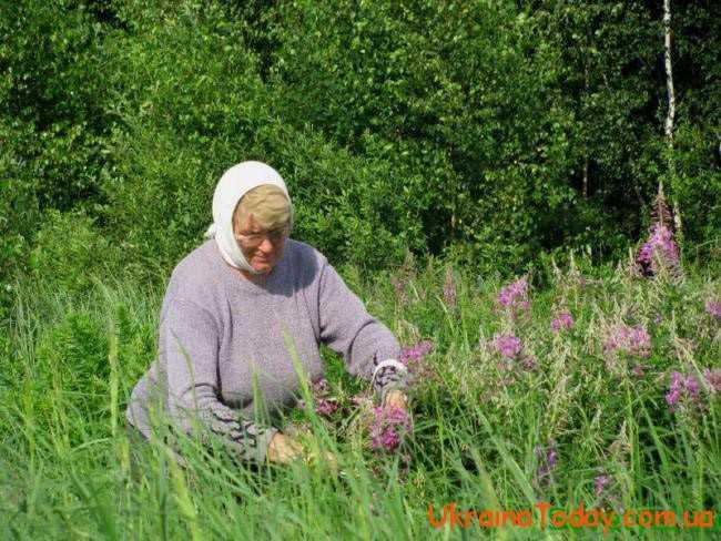 Сприятливий час для заготовки різної зелені, лікарських трав
