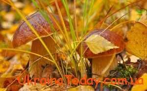 на галявинах багато грибів